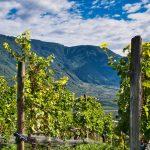 Weingärten von Nals